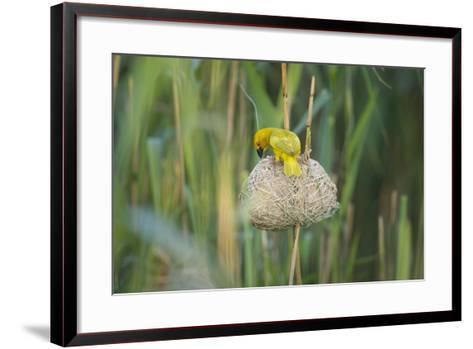 Male African Golden Weaver (Ploceus Subaureus) Tending to its Nest in Reedbeds-Neil Aldridge-Framed Art Print