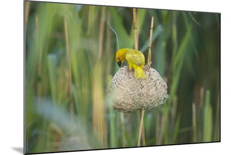 Male African Golden Weaver (Ploceus Subaureus) Tending to its Nest in Reedbeds-Neil Aldridge-Mounted Photographic Print