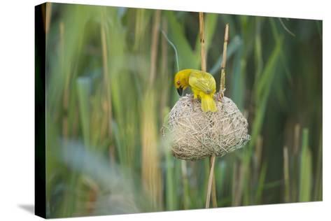 Male African Golden Weaver (Ploceus Subaureus) Tending to its Nest in Reedbeds-Neil Aldridge-Stretched Canvas Print