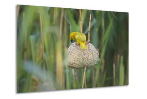 Male African Golden Weaver (Ploceus Subaureus) Tending to its Nest in Reedbeds-Neil Aldridge-Metal Print