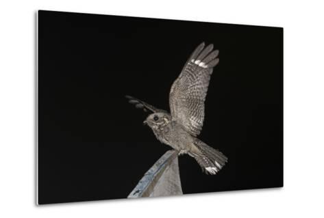 Madagascar Nightjar (Caprimulgus Madagascariensis) at Night, Reniala Forest, Mangily, Madagascar-Bernard Castelein-Metal Print