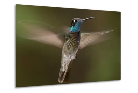 Magnificent Hummingbird (Eugenes Fulgens) Male, Flying, Milpa Alta Forest, Mexico, May-Claudio Contreras Koob-Metal Print