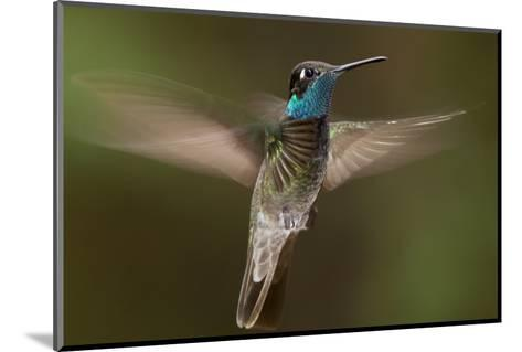 Magnificent Hummingbird (Eugenes Fulgens) Male, Flying, Milpa Alta Forest, Mexico, May-Claudio Contreras Koob-Mounted Photographic Print