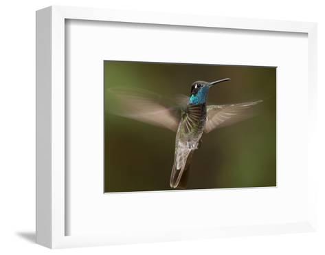 Magnificent Hummingbird (Eugenes Fulgens) Male, Flying, Milpa Alta Forest, Mexico, May-Claudio Contreras Koob-Framed Art Print