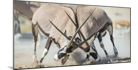 Two Gemsbok Bulls (Oryx Gazella) Males Fighitng, Etosha National Park, Namibia-Wim van den Heever-Mounted Photographic Print