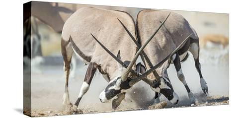 Two Gemsbok Bulls (Oryx Gazella) Males Fighitng, Etosha National Park, Namibia-Wim van den Heever-Stretched Canvas Print