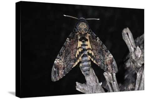 Deaths Head Hawk Moth, Spain--Stretched Canvas Print