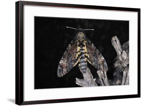 Deaths Head Hawk Moth, Spain--Framed Art Print