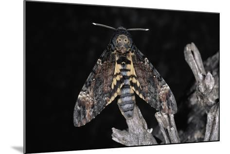 Deaths Head Hawk Moth, Spain--Mounted Photographic Print