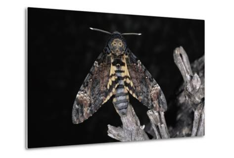 Deaths Head Hawk Moth, Spain--Metal Print