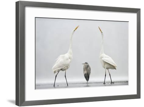 Two Great Egrets (Ardea Alba) Standing Opposite Each Other with Grey Heron (Ardea Cinerea)-Bence Mate-Framed Art Print
