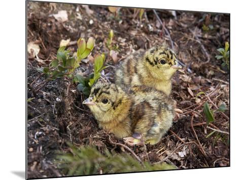 Two Capercaillie (Tetrao Urogallus) Chicks, Vaala, Finland, June-Markus Varesvuo-Mounted Photographic Print