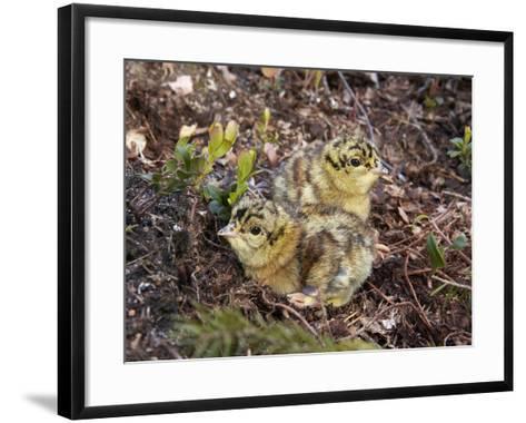 Two Capercaillie (Tetrao Urogallus) Chicks, Vaala, Finland, June-Markus Varesvuo-Framed Art Print