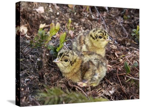 Two Capercaillie (Tetrao Urogallus) Chicks, Vaala, Finland, June-Markus Varesvuo-Stretched Canvas Print
