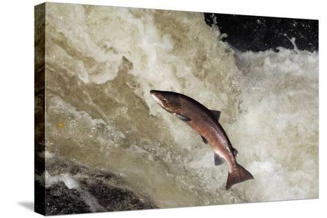 Male Atlantic Salmon (Salmo Salar) Leaping-Laurie Campbell-Stretched Canvas Print