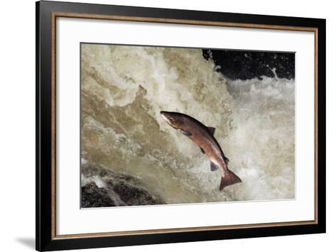 Male Atlantic Salmon (Salmo Salar) Leaping-Laurie Campbell-Framed Art Print