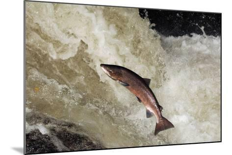 Male Atlantic Salmon (Salmo Salar) Leaping-Laurie Campbell-Mounted Photographic Print