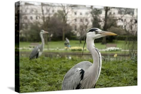 Two Grey Herons (Ardea Cinerea) Standing in Regent's Park, London, England, UK, April-Bertie Gregory-Stretched Canvas Print