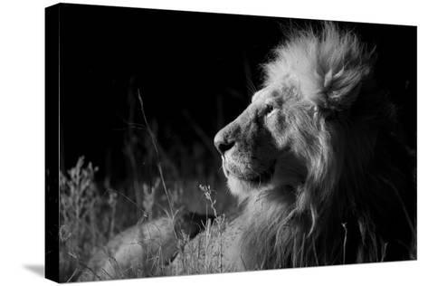 Male Lion (Panthera Leo) , in Infra Red, Masai Mara, Kenya--Stretched Canvas Print