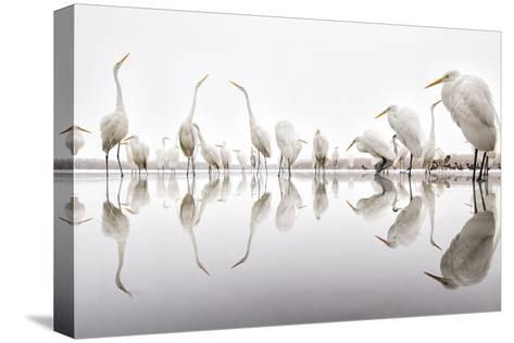 Group of Great Egrets (Ardea Alba) Reflected in Still Water-Bence Mate-Stretched Canvas Print