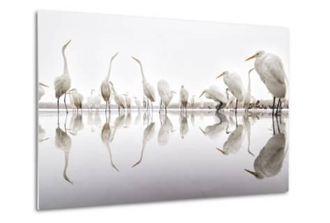 Group of Great Egrets (Ardea Alba) Reflected in Still Water-Bence Mate-Metal Print