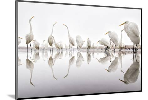 Group of Great Egrets (Ardea Alba) Reflected in Still Water-Bence Mate-Mounted Photographic Print