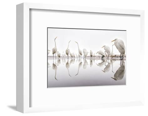 Group of Great Egrets (Ardea Alba) Reflected in Still Water-Bence Mate-Framed Art Print
