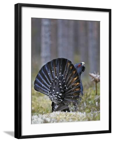 Male Capercaillie (Tetrao Urogallus) Displaying, Jalasjarvi, Finland, April-Markus Varesvuo-Framed Art Print
