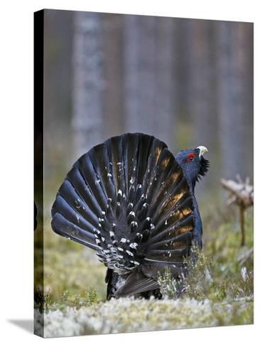 Male Capercaillie (Tetrao Urogallus) Displaying, Jalasjarvi, Finland, April-Markus Varesvuo-Stretched Canvas Print