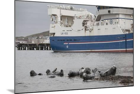 Grey Seals (Halichoerus Grypus) on Haul Out in Fishing Harbour with Ferry in the Background-Peter Cairns-Mounted Photographic Print