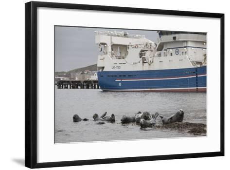 Grey Seals (Halichoerus Grypus) on Haul Out in Fishing Harbour with Ferry in the Background-Peter Cairns-Framed Art Print
