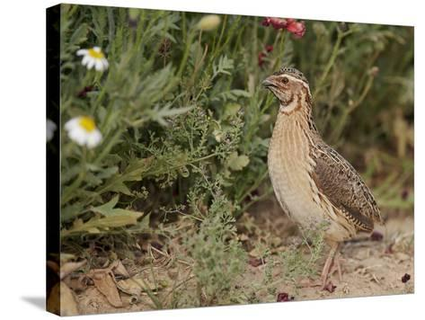 Male Common Quail (Coturnix Coturnix) Calling, Spain, May-Markus Varesvuo-Stretched Canvas Print