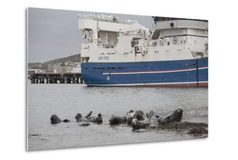 Grey Seals (Halichoerus Grypus) on Haul Out in Fishing Harbour with Ferry in the Background-Peter Cairns-Metal Print