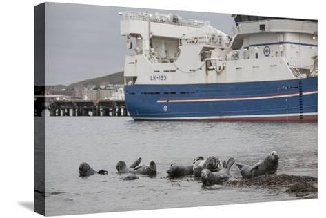 Grey Seals (Halichoerus Grypus) on Haul Out in Fishing Harbour with Ferry in the Background-Peter Cairns-Stretched Canvas Print