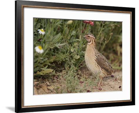 Male Common Quail (Coturnix Coturnix) Calling, Spain, May-Markus Varesvuo-Framed Art Print
