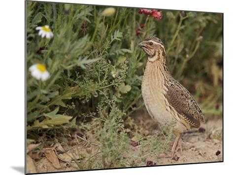 Male Common Quail (Coturnix Coturnix) Calling, Spain, May-Markus Varesvuo-Mounted Photographic Print