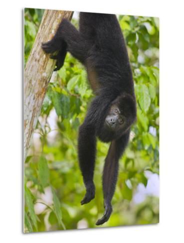 Guatemalan Black Howler Monkey (Alouatta Pigra) Climbing-Kevin Schafer-Metal Print