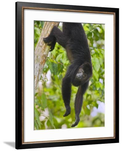 Guatemalan Black Howler Monkey (Alouatta Pigra) Climbing-Kevin Schafer-Framed Art Print