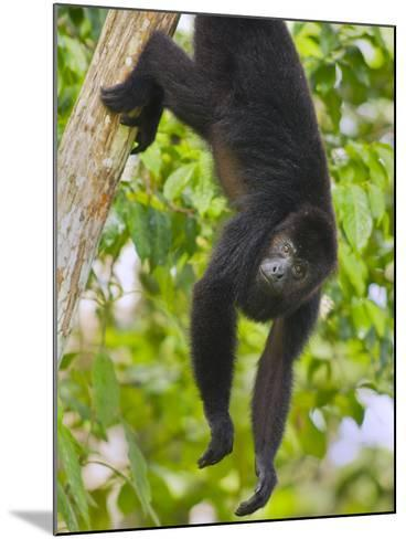 Guatemalan Black Howler Monkey (Alouatta Pigra) Climbing-Kevin Schafer-Mounted Photographic Print