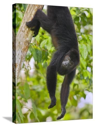 Guatemalan Black Howler Monkey (Alouatta Pigra) Climbing-Kevin Schafer-Stretched Canvas Print