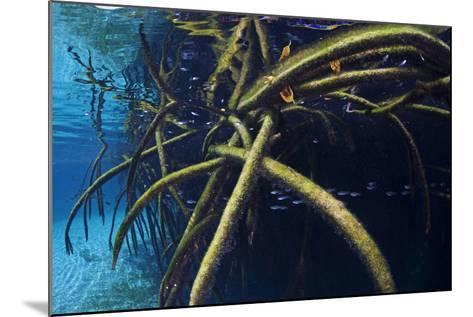 Red Mangrove (Rhizophora Mangle) in Sinkhole-Claudio Contreras-Mounted Photographic Print