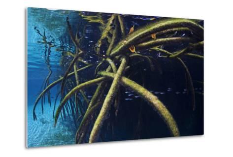 Red Mangrove (Rhizophora Mangle) in Sinkhole-Claudio Contreras-Metal Print