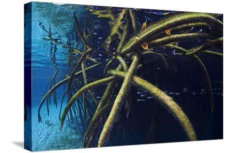 Red Mangrove (Rhizophora Mangle) in Sinkhole-Claudio Contreras-Stretched Canvas Print