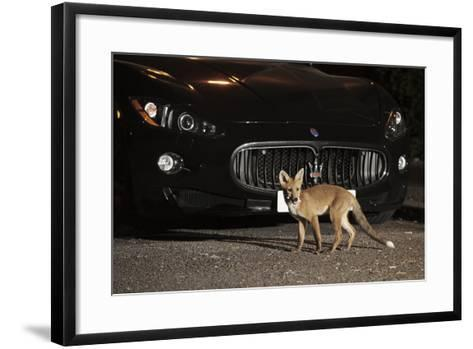 Urban Red Fox (Vulpes Vulpes) Cub Carrying Scavenged Food in Mouth, West London, UK, June-Terry Whittaker-Framed Art Print