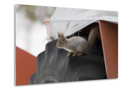 Red Squirrel (Sciurus Vulgaris) on Wheel of Snow Plough, Oulu, Finland, March-David Tipling-Metal Print