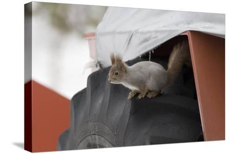 Red Squirrel (Sciurus Vulgaris) on Wheel of Snow Plough, Oulu, Finland, March-David Tipling-Stretched Canvas Print