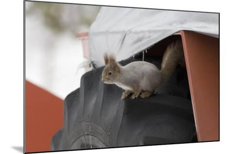 Red Squirrel (Sciurus Vulgaris) on Wheel of Snow Plough, Oulu, Finland, March-David Tipling-Mounted Photographic Print