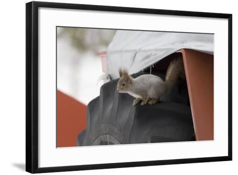 Red Squirrel (Sciurus Vulgaris) on Wheel of Snow Plough, Oulu, Finland, March-David Tipling-Framed Art Print