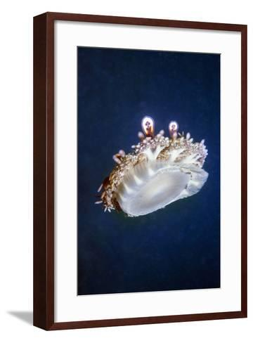 Upside Down Jellyfish (Cassiopeia Andromeda) Lembeh, Sulawesi, Indonesia-Georgette Douwma-Framed Art Print