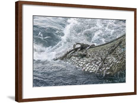 Dragger Net Full of Haddock (Melanogrammus Aeglefinus)-Jeff Rotman-Framed Art Print